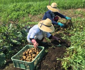 農業体験:第二回目!